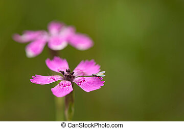 Pink flower with a fly