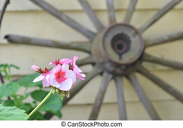 Pink flower with a wagonwheel.