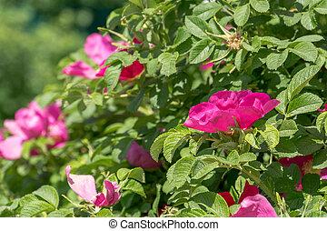 Pink flowering briar - Blooming briar flowers of bright pink...