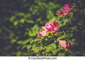 Pink flowering briar retro - Blooming briar flowers of...