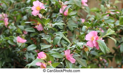 Pink Flowering Camellia - Evergreen camellia plant with...