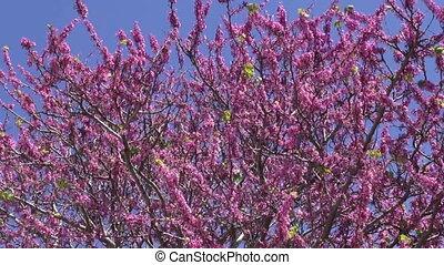 Pink flowering tree in Rhodes - Bush in bloom in Greece...