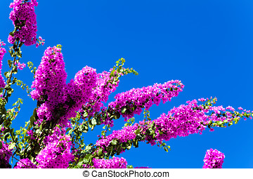Pink flowering tree on a background of blue sky