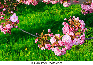 pink flowers above grass on sakura branches - pink flowers...