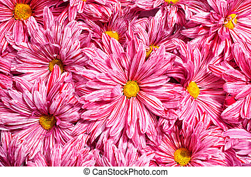 Pink flowers chrysanthemums background