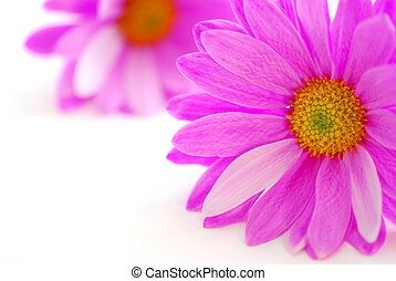 Pink flowers close up on white background