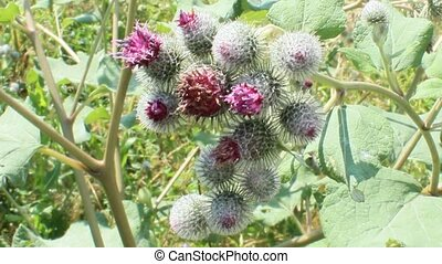Pink flowers, fruits of burdock, agrimony in summer -...