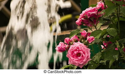 Pink flowers in front of water fountain - A still close up...