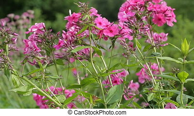 Pink flowers in nature close-up