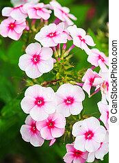 Pink flowers in spring garden.