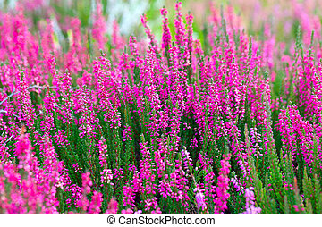 Pink flowers in the springtime, outdoor photo