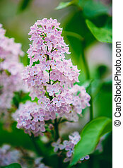 Pink Flowers Lilac In Garden