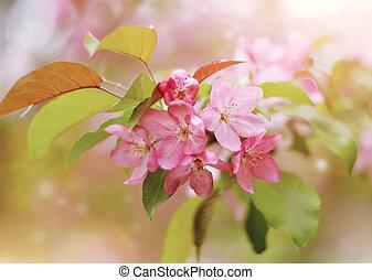 Pink flowers of Apple tree