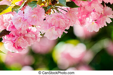 pink flowers of blossoming cherry on the branch. lovely...