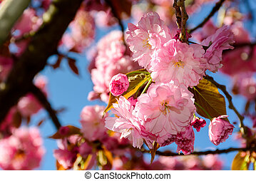 pink flowers of cherry blossom among the branches. lovely...