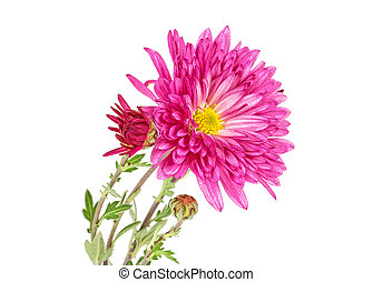 Pink flowers of chrysanthemum on a white background
