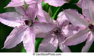 Pink flowers of clematis close-up