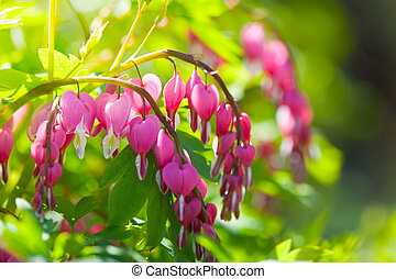 pink flowers of Dicentra shined with the bright spring sun