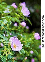 Pink flowers of dog-rose closeup