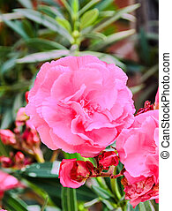 Pink flowers of nerium oleander, evergreen shrub, family...