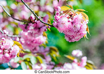 pink flowers of sakura branches - closeup of pink flowers...