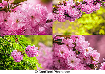 pink flowers of sakura branches on blury background image...