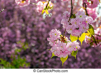 pink flowers of sakura branches - pink flowers on the...