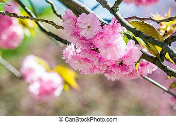 pink flowers of sakura branches - closeup of pink flowers...