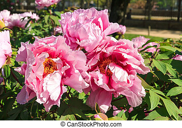 Pink flowers of the Moutan Peony