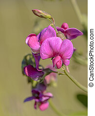 Pink flowers of tuberous pea
