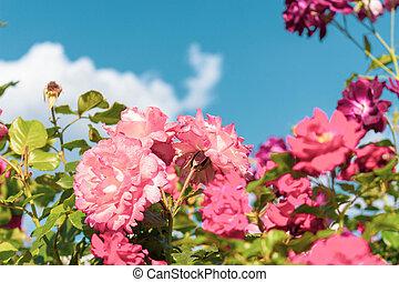 Pink flowers on a background of blue sky with clouds. Rose floribunda