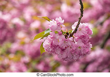 pink flowers on sakura branches - pink flowers on the...
