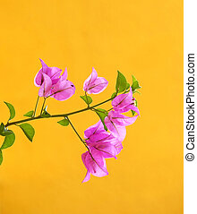 Pink flowers on yellow background (Bougainville)
