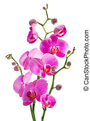 pink flowers orchid on a white back