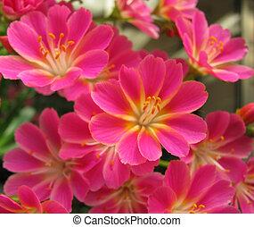 Pink Flowers Phlox - Neon Pink Flowers, Phlox