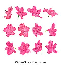 Pink flowers rhododendrons vector - Pink flowers ...
