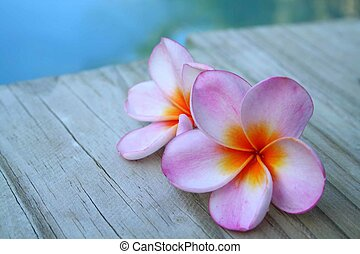 Two pink frangipani flowers