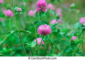 pink flowers with green clover leaves