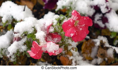 Pink flowers with snow