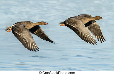 Pink footed geese in flight