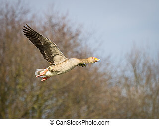 Pink footed goose in flight