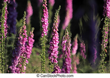 Pink Foxglove plants on forest clearing in Germany