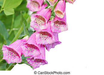 Pink Foxgloves - Pink foxglove flower isolated on white ...