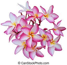pink frangipani flower isolated