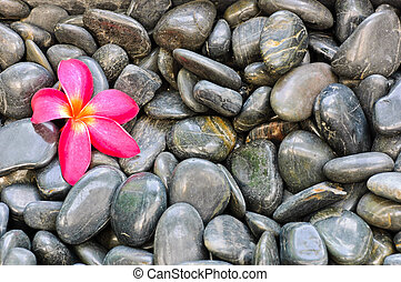 Pink Frangipani flower on black stones