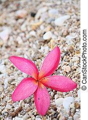 Pink frangipani flower on the beach