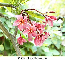 frangipani flower or Leelawadee flower on the tree