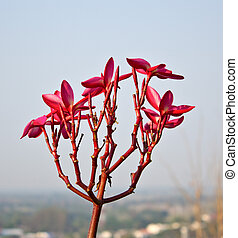 Pink frangipani flowers with in sky background