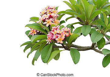 Pink Frangipani on tree