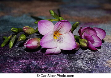 Pink freesia on a purple gradient background